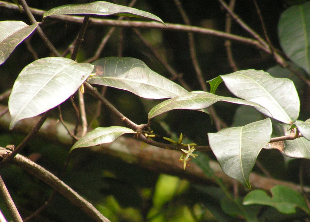 Landolphia kirkii