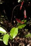 Dictyophleba lucida