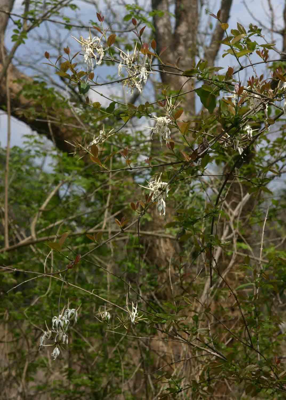 Ancylobotrys petersiana