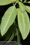 Tabernaemontana elegans