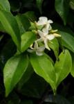 Alafia caudata subsp. latiloba