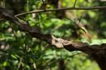 Strophanthus courmontii