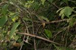 Strophanthus kombe