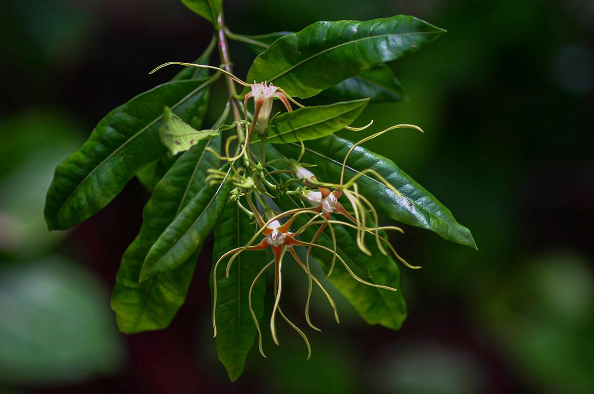 Strophanthus speciosus
