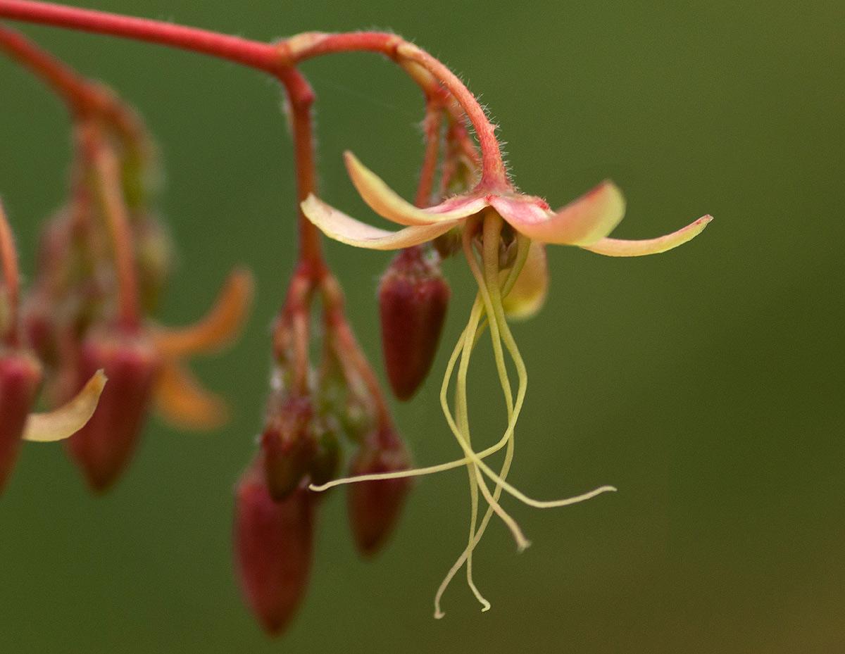 Tacazzea apiculata