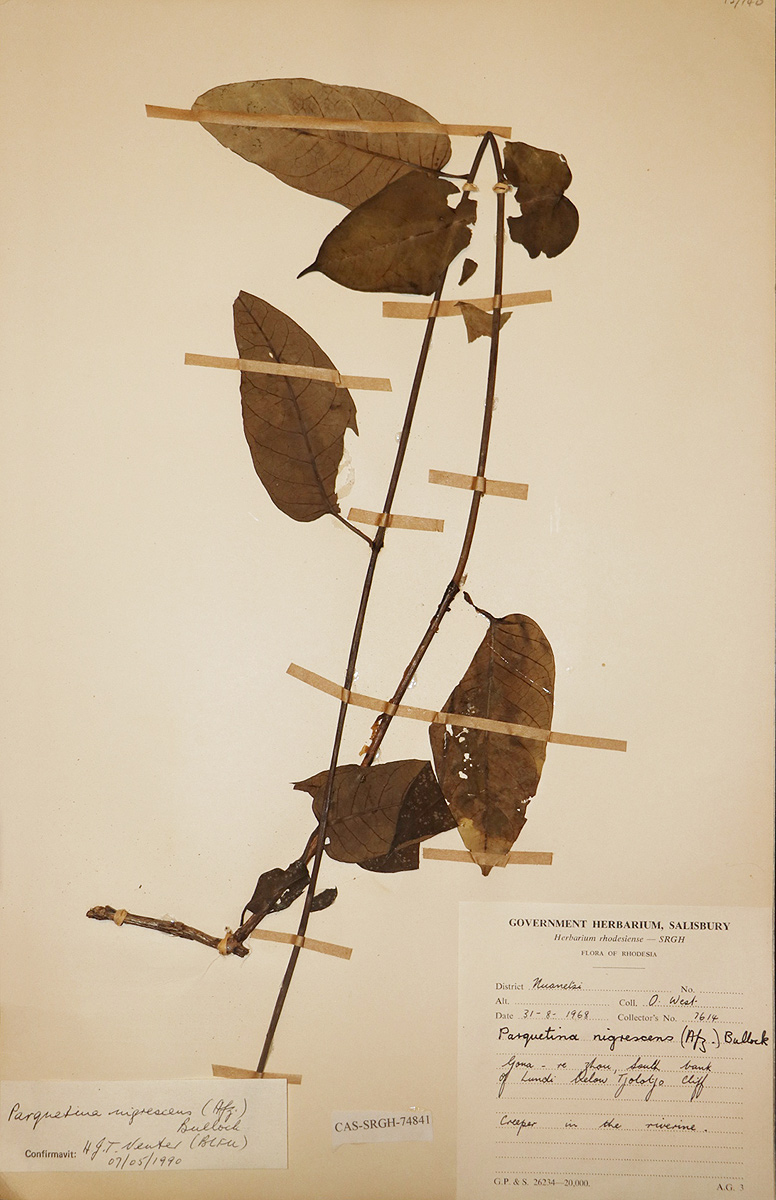 Parquetina calophylla