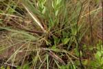 Cryptolepis oblongifolia