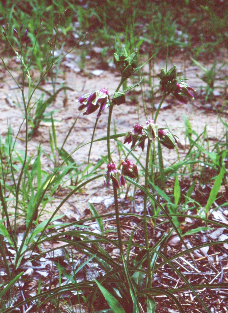 Raphionacme grandiflora