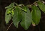 Chlorocyathus monteiroae