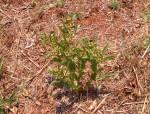 Xysmalobium heudelotianum