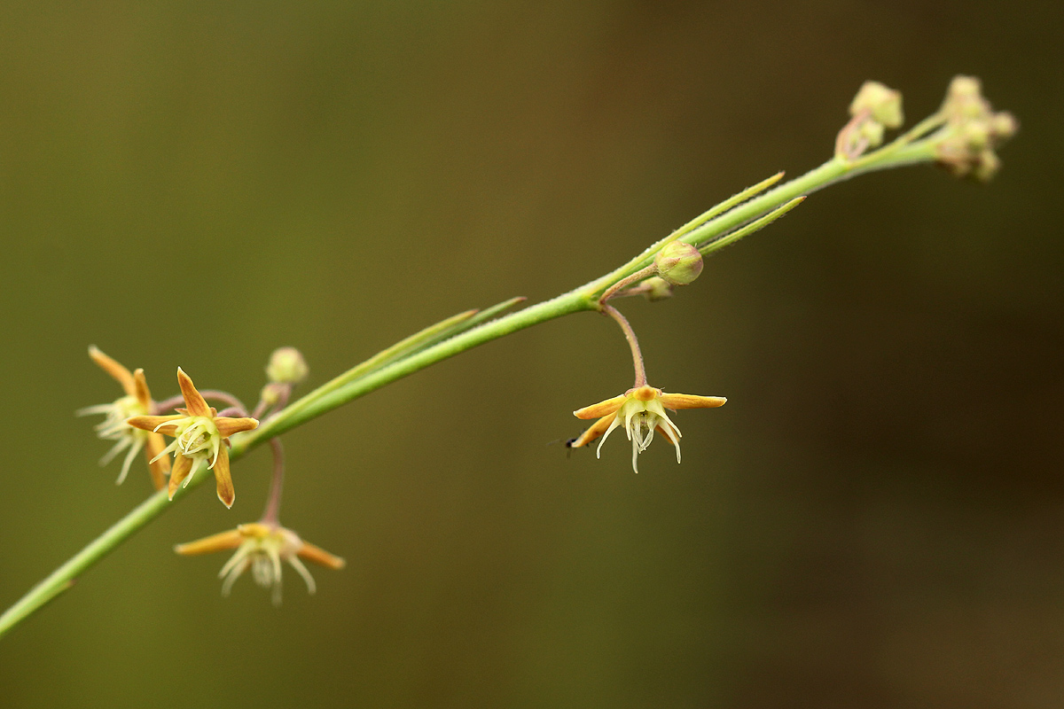 Aspidoglossum glabellum