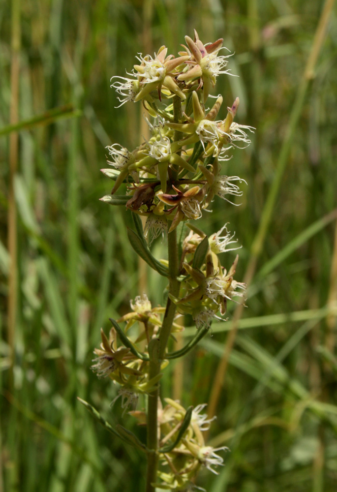 Aspidoglossum nyasae