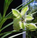 Kanahia laniflora