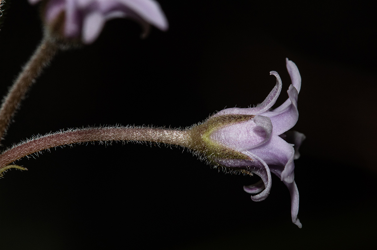 Margaretta rosea subsp. whytei