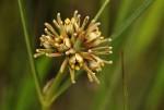 Periglossum mackenii