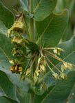 Gomphocarpus glaucophyllus