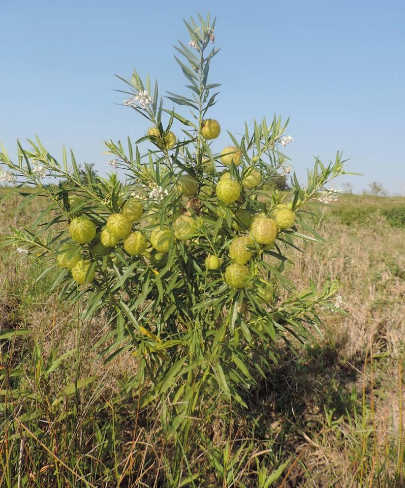 Gomphocarpus physocarpus