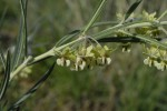 Gomphocarpus tomentosus subsp. tomentosus