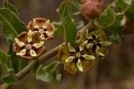 Pachycarpus concolor subsp. concolor