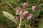 Pachycarpus bisacculatus