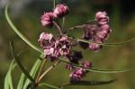 Asclepias graminifolia