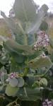 Calotropis procera