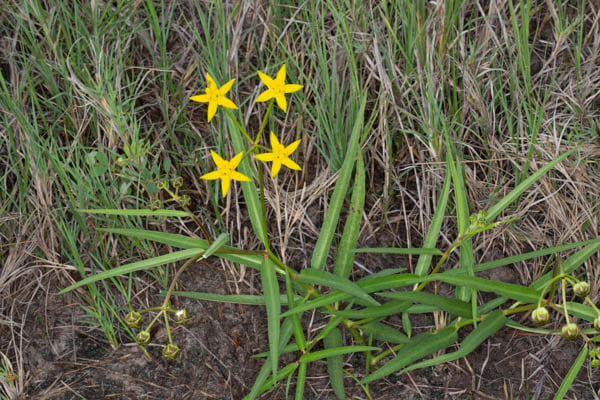 Stathmostelma fornicatum subsp. fornicatum