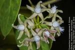 Cynanchum mossambicense