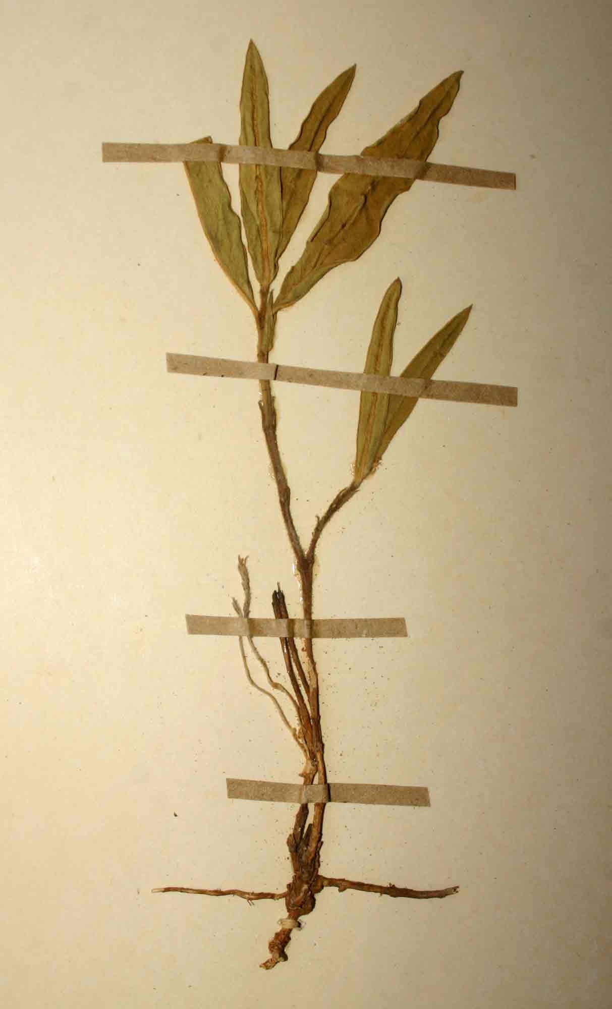 Cynanchum praecox