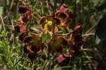 Glossostelma carsonii