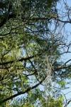 Cynanchum viminale subsp. viminale
