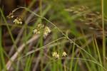 Sisyranthus rhodesicus