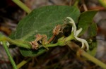 Orthanthera jasminiflora