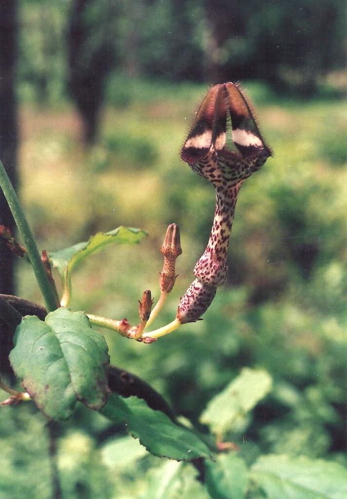 Ceropegia nilotica