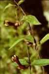 Ceropegia racemosa