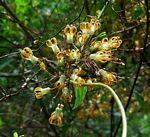 Riocreuxia polyantha