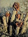 Hoodia currorii subsp. lugardii