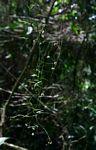 Tylophora sp.no.2