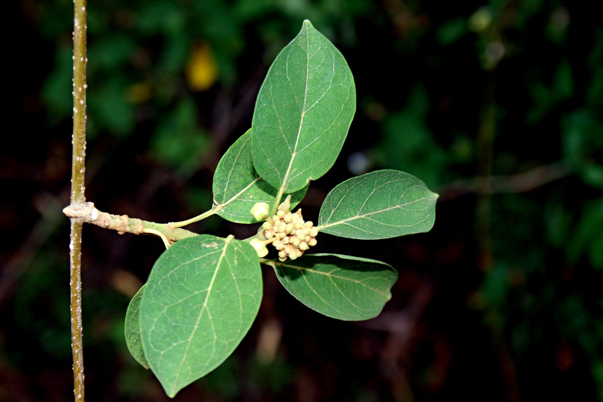Marsdenia abyssinica