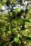 Fockea multiflora