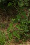Jacquemontia tamnifolia