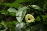 Hewittia malabarica