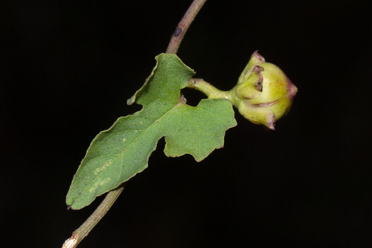 Merremia hederacea