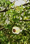 Merremia kentrocaulos var. pinnatifida