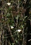 Merremia pterygocaulos