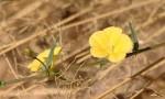 Merremia tridentata subsp. angustifolia
