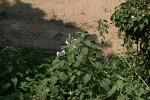Ipomoea carnea subsp. fistulosa