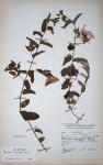 Ipomoea crassipes var. crassipes