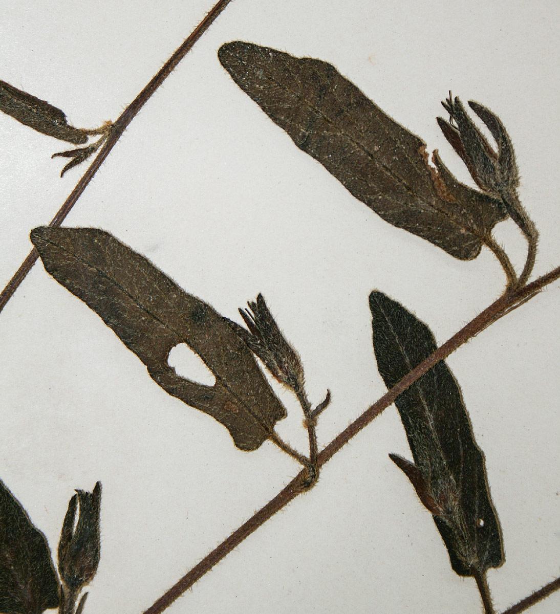 Ipomoea fulvicaulis var. asperifolia
