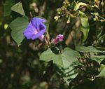 Ipomoea indica var. acuminata